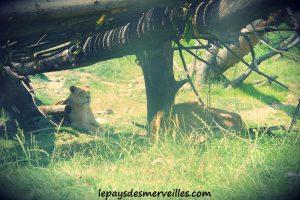 cerza lions