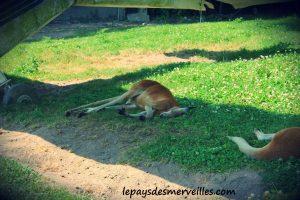 cerza kangourou