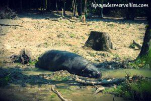 cerza hippopotame
