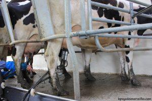 Séjour ferme traite des vaches
