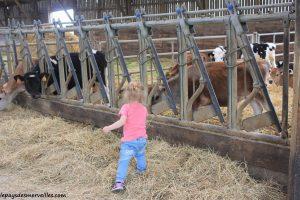 Séjour ferme vaches laitières et veaux (25)