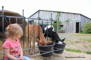 Séjour ferme vaches laitières et veaux (27)