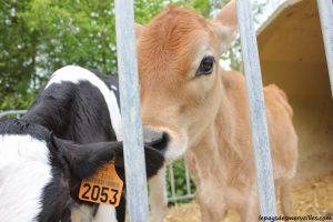 Séjour ferme vaches laitières et veaux (28)