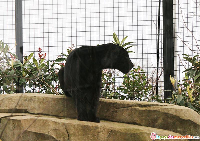 jaguar noir zoo de paris