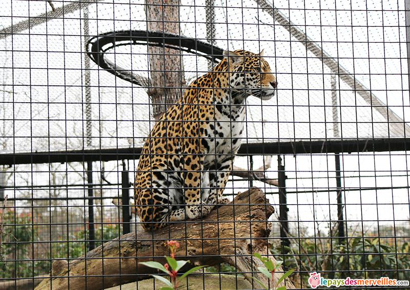 jaguar zoo de paris