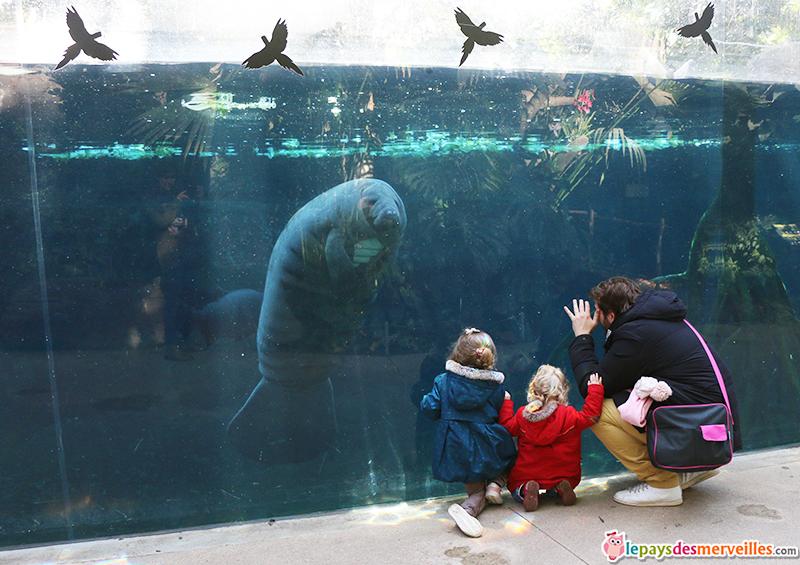 lamantin zoo de vincennes
