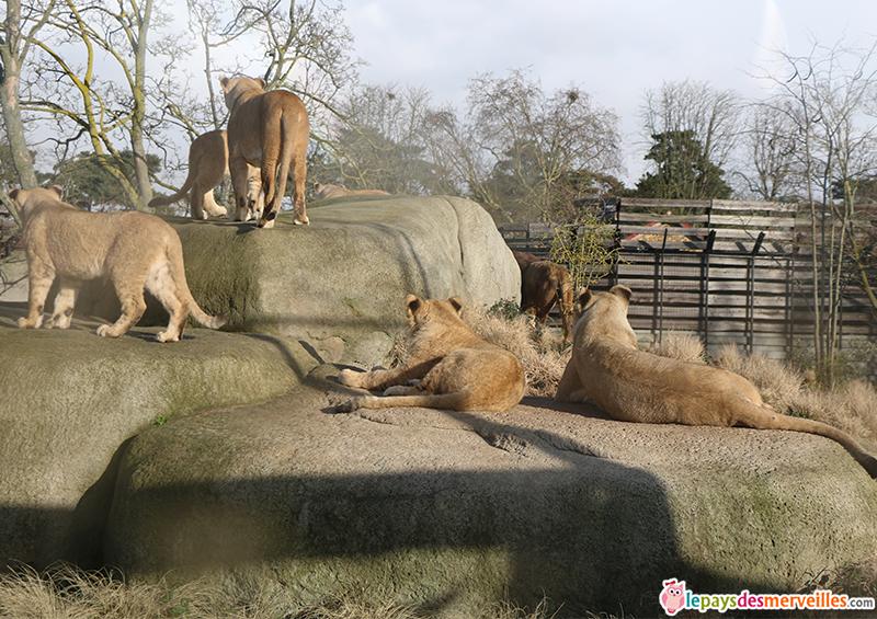 Enclos des lionnes au zoo de Vincennes