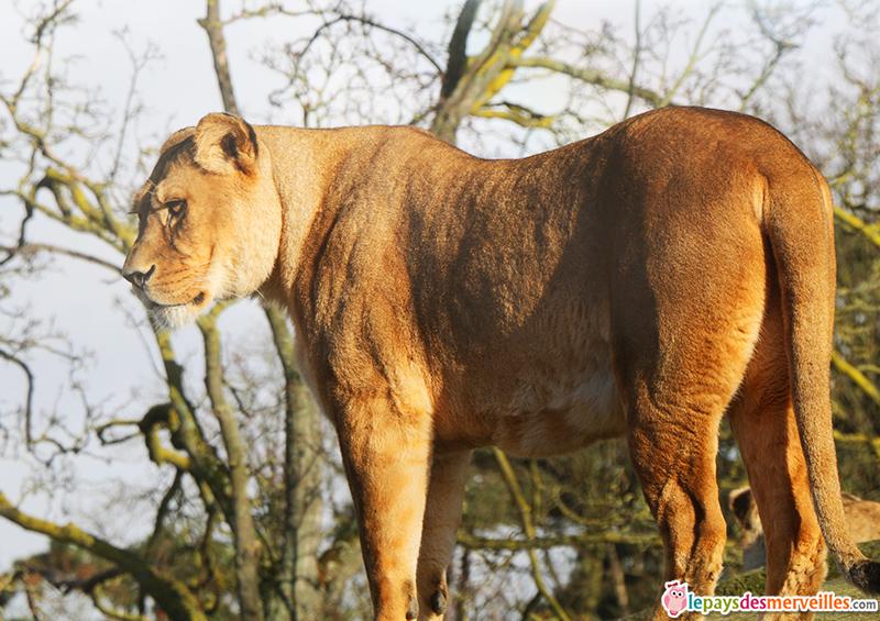 lionne du zoo de paris