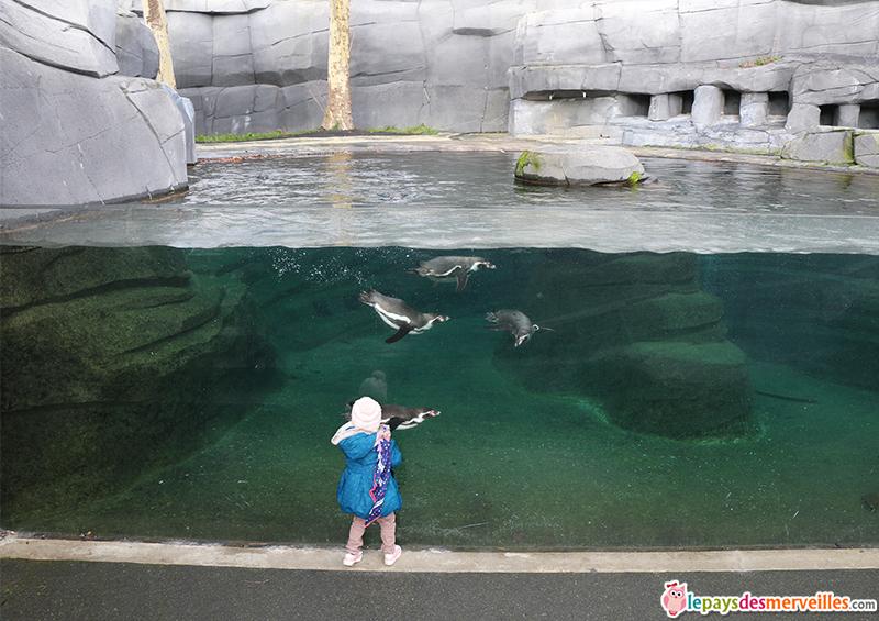 manchot zoo de vincennes