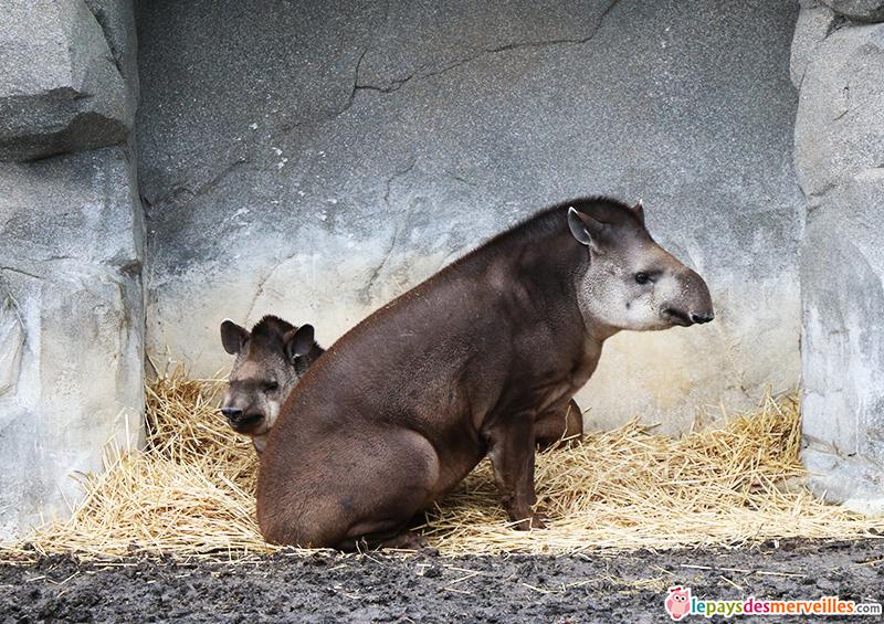 tapir zoo de paris
