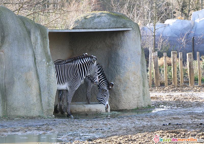 zebres zoo de paris