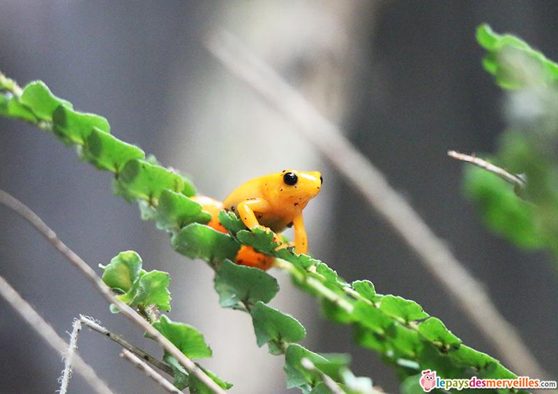 zoo de paris grenouille tomate