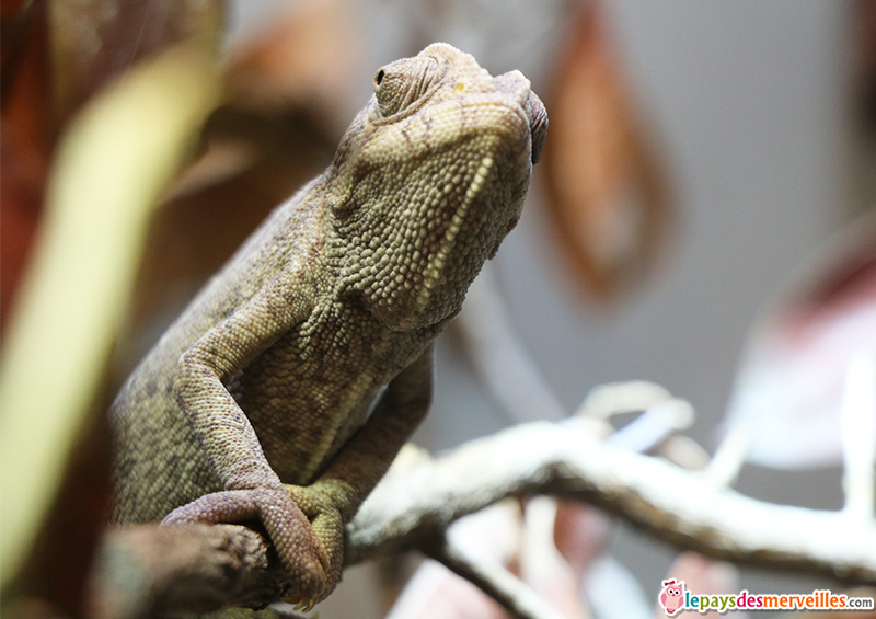 zoo de vincennes cameleon