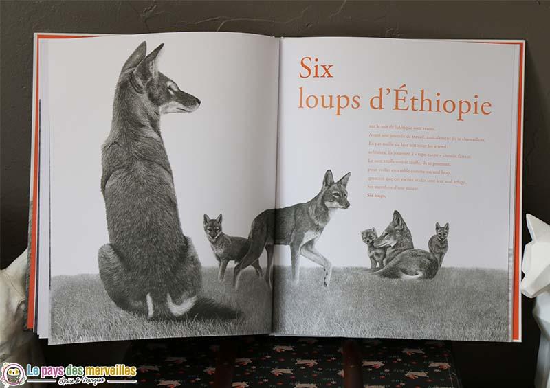 Illustration en noir et blanc de loups d'Ethiopie