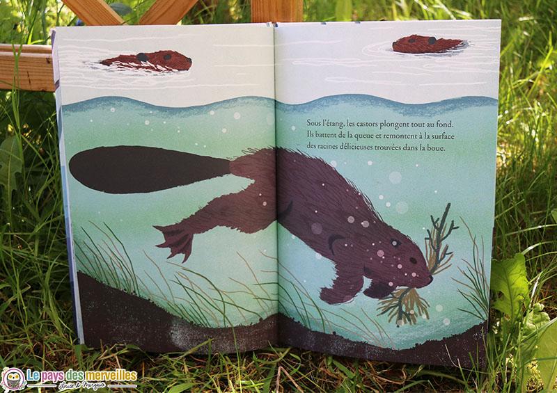castors qui plongent sous l'eau