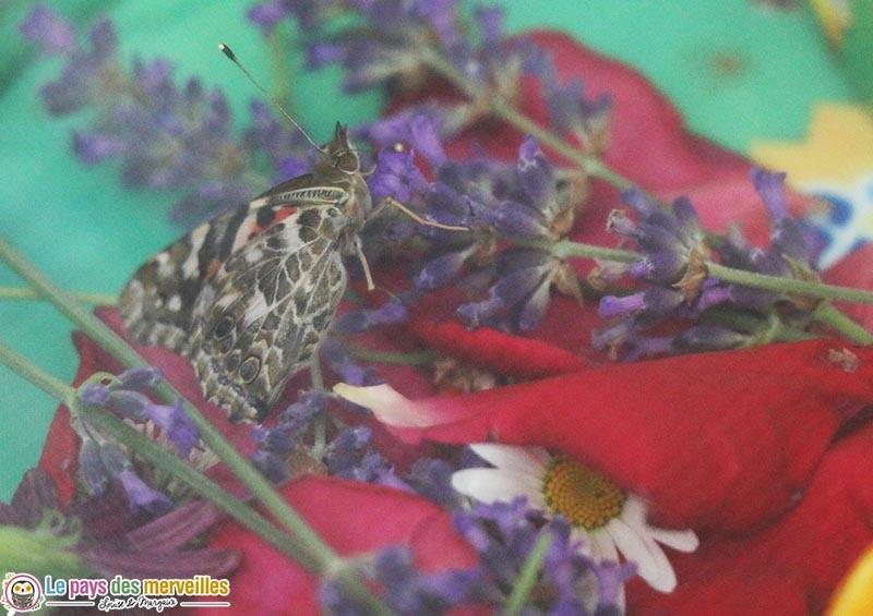 nourriture pour les papillons