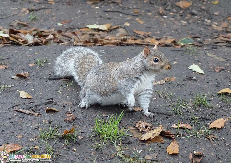 écureuil à Hyde Park Londres
