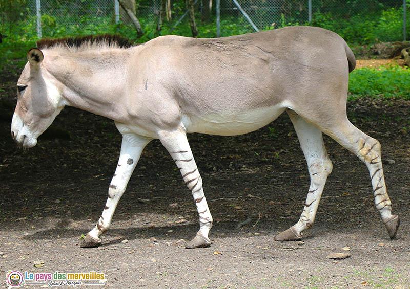 ane de Somalie avec les pattes zebrées