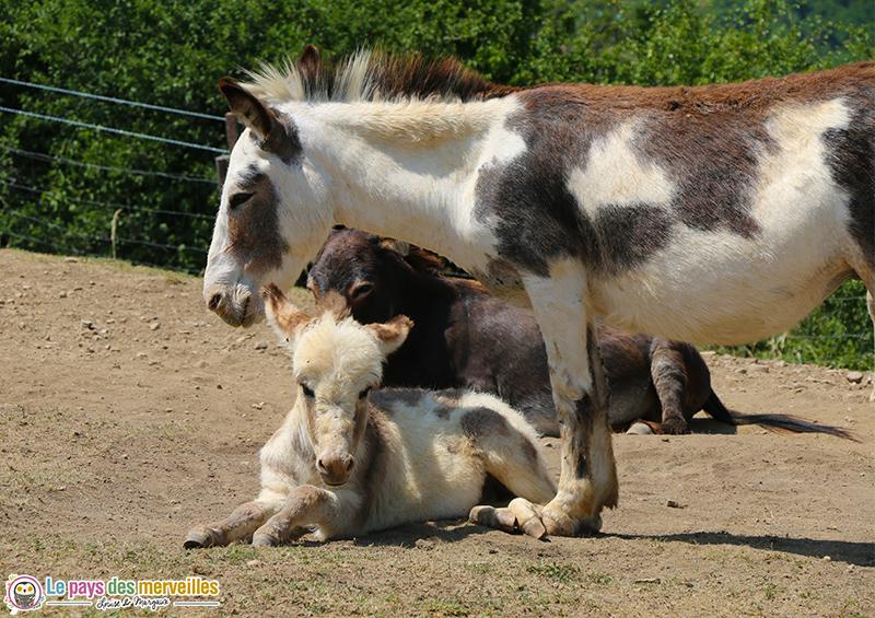 ânes de petite taille