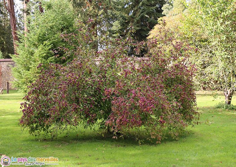 Arbuste violet harcourt arboretum