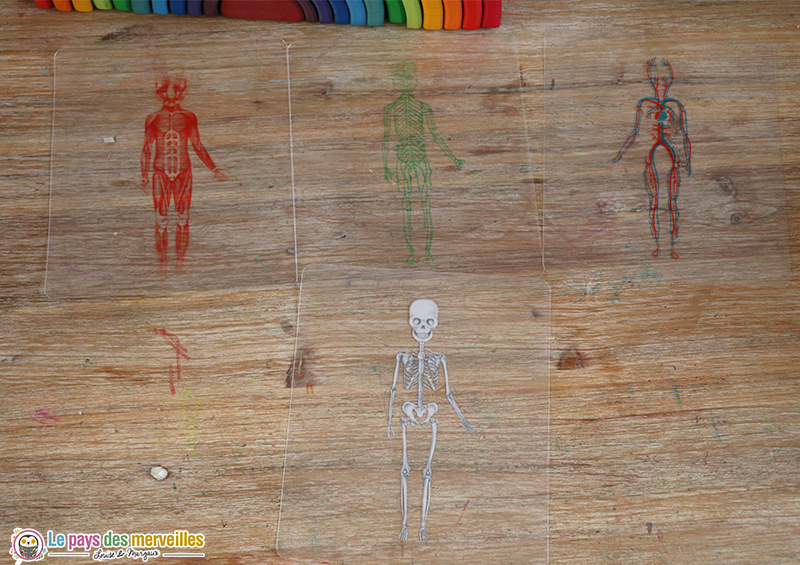 transparents des systèmes du corps humain