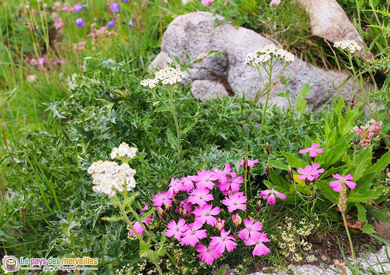 Fleurs au col de la Cayolle