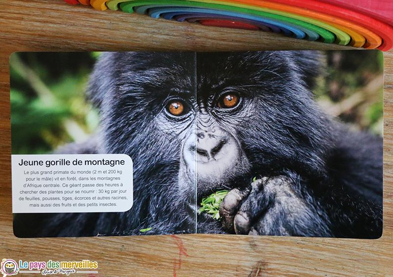 jeune gorille de montagne