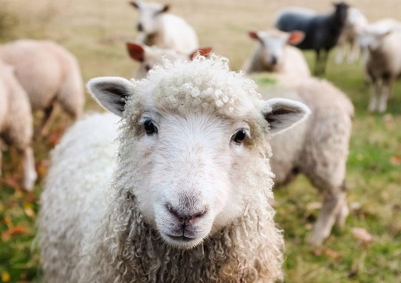 Mouton en gros plan dans un troupeau