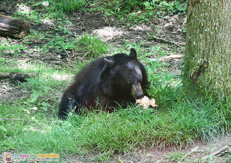 ours en train de manger