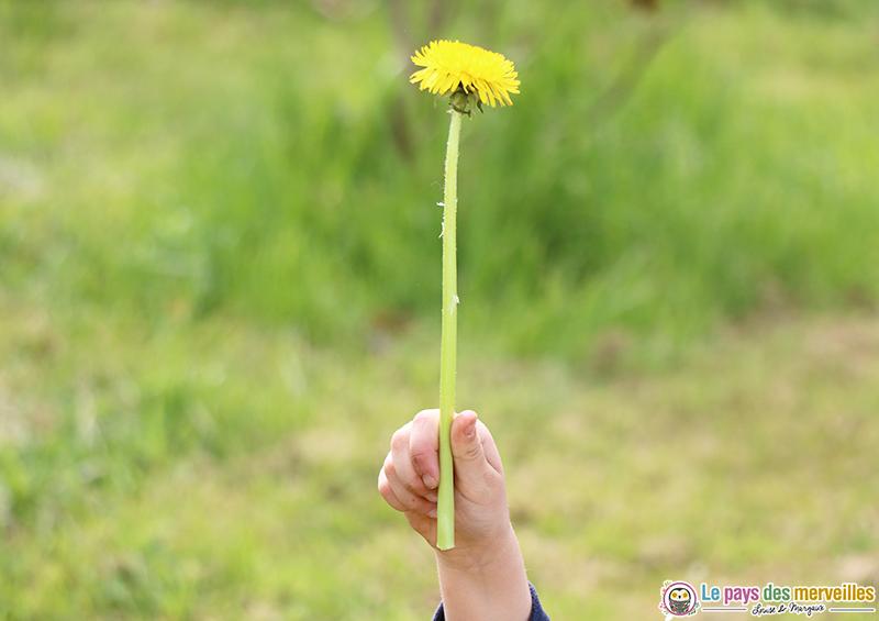 Fleur de pissenlit avec une longue tige
