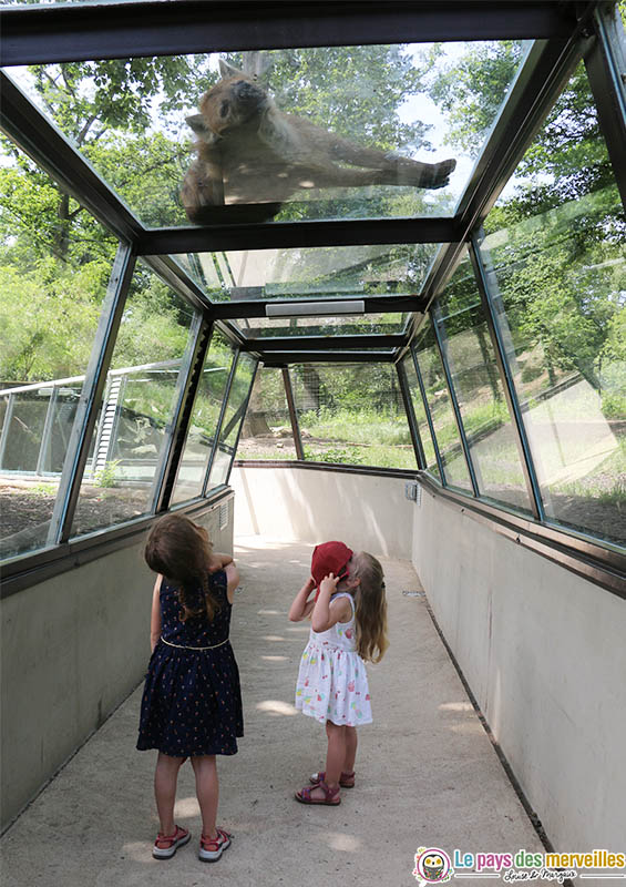 hyène sur le tunnel de verre à Thoiry